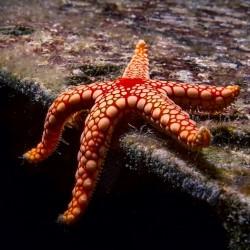Морские звезды/ офиуры