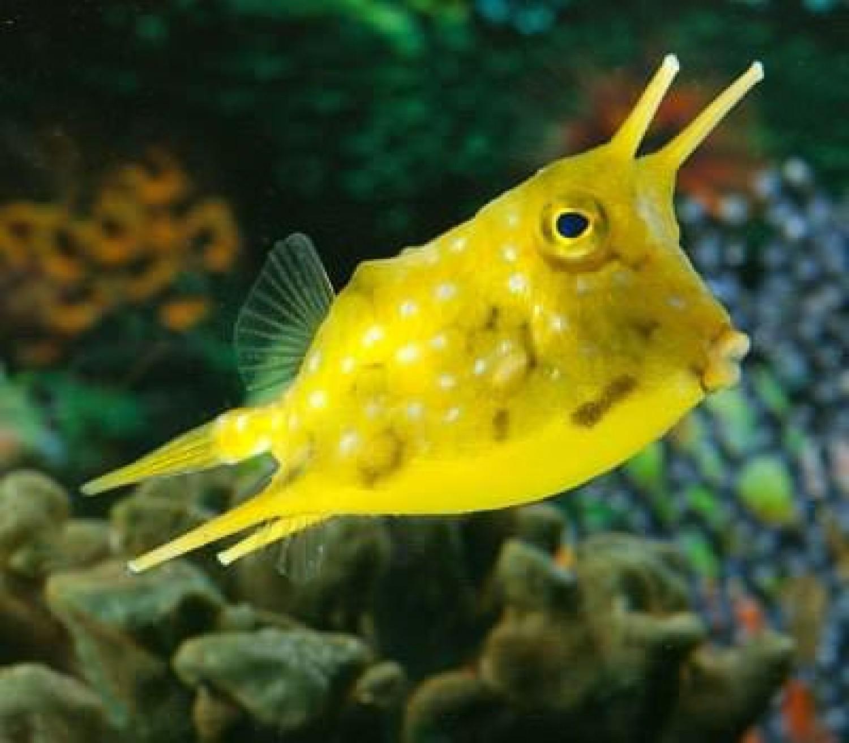 Кузовок длиннорогий желтый (Рыба-корова)/Lactoria cornuta