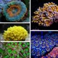 Крупнополипные кораллы/LPS