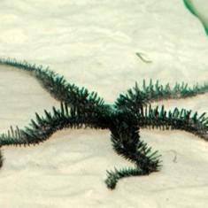 Офиура-офиолепис черная/Ophiolepis sp.