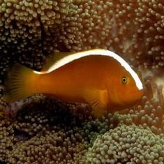 Морская аквариумная рыбка Amphiprion sandaracinos / Клоун оранжевый