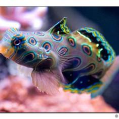 Synchiropus picturatus / Мандаринка красочная