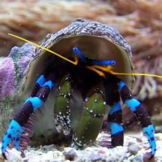 Рак-отшельник синеногий/Calcinus elegans