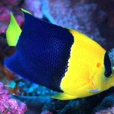 Центропиг сине-желтый/ Centropyge bicolor