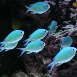 Помацентровые рыбки