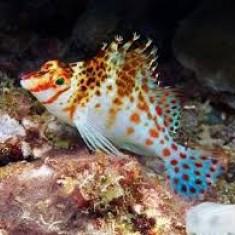 Кудрепер краснопятнистый/Cirrhitichthys aprinus