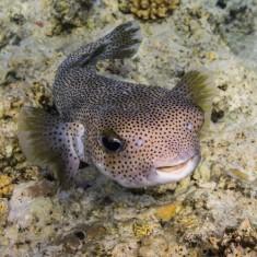 Рыба-еж длинноиглая/Diodon holacanthus
