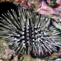 Echinometra mathaei / Двухцветный ежик-дикообраз