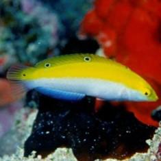 Тамарин бело-желтый (лимонный)/Halichoeres leucoxanthus