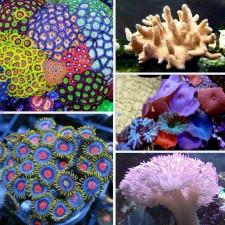 Купить мягкие кораллы для морского аквариума