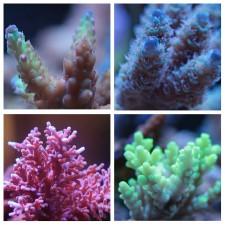 Мелкополипные кораллы/SPS