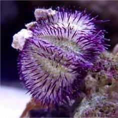 Еж литехинус фиолетовый/Lytechinus sp.