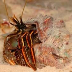 Рак-отшельник/Paguridae Gen.sp.