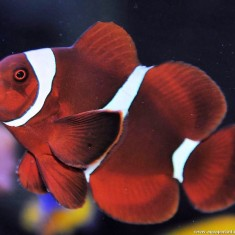 Клоун премнас (Красный трехполосый клоун)/Premnas biaculeatus