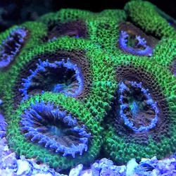 Крупнополипные кораллы Бластомусса / Blastomussa sp.
