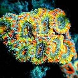 Крупнополипные кораллы Акантастрея / Acanthastrea sp.
