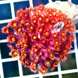 Крупнополипные кораллы REx