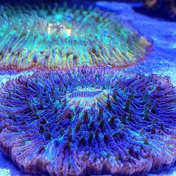 Крупнополипные кораллы Фунгия / Fungia sp.