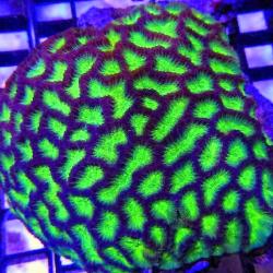 Крупнополипные кораллы Платигира/ Platygyra sp.