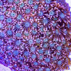 Крупнополипные кораллы Альвеопора/ Alveopora sp.