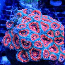 Крупнополипные кораллы Микромусса / Micromussa sp.