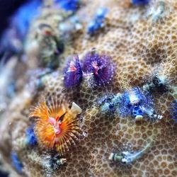 Мелкополипные кораллы Порит / Porites sp.