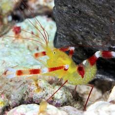Креветка-боксер занзибарская/Stenopus zanzibaricus