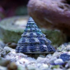 Улитка-водорослеед фенестратус/Tectus fenestratus