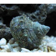 Улитка-водорослеед турбо сетозус/Turbo setosus