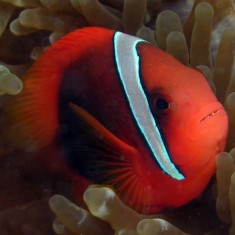 Морская аквариумная рыбка Amphiprion frenatus / Клоун томатный