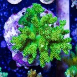 Мелкополипные кораллы Акропора/Acropora