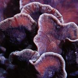 Мелкополипные кораллы Leptoseris