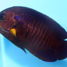 Центропиг желтоплавничный/ Centropyge flavipectoralis