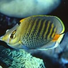 Точечно - полосатая Бабочка /  Chaetodon punctatofasciatus