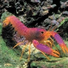 Омар рифовый Дебелиуса/ Enoplometopus debelius
