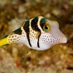 Иглобрюховые рыбки