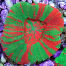 Крупнополипные кораллы Сколимия/ Scolymia sp.