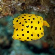 Ostracion cubicus / Желтый пятнистый кубик