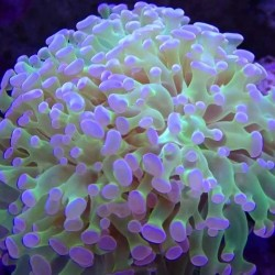 Крупнополипные кораллы Эуфиллия / Euphyllia sp.