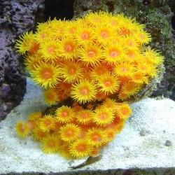 Крупнололипные кораллы Тубастрея/Tubastrea sp.