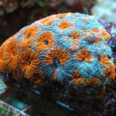 Акантастрея эхината оранжевая/ Acanthastrea echinata