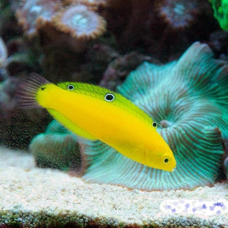 Тамарин желтый (хризус)/Halichoeres chrysus