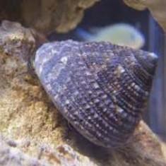 Astrea snail / улитка Турбо