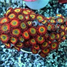 Зоантарии LUX (зоантусы, палитоя…)/Zoanthiniaria Gen.sp. (Zoanthus, Palythoa…)