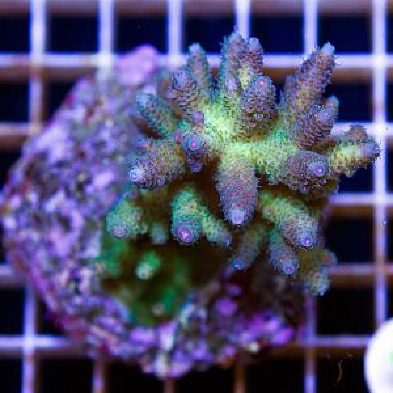 Acropora millipora