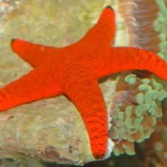 Звезда фромия красная/ Fromia milleperella