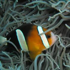 Морская аквариумная рыбка Amphiprion clarkii orange / Клоун Кларка оранжевый