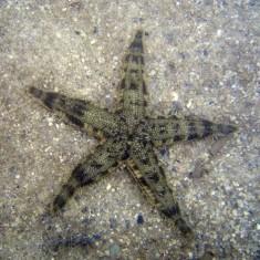 Звезда песчаная / Archaster typicus