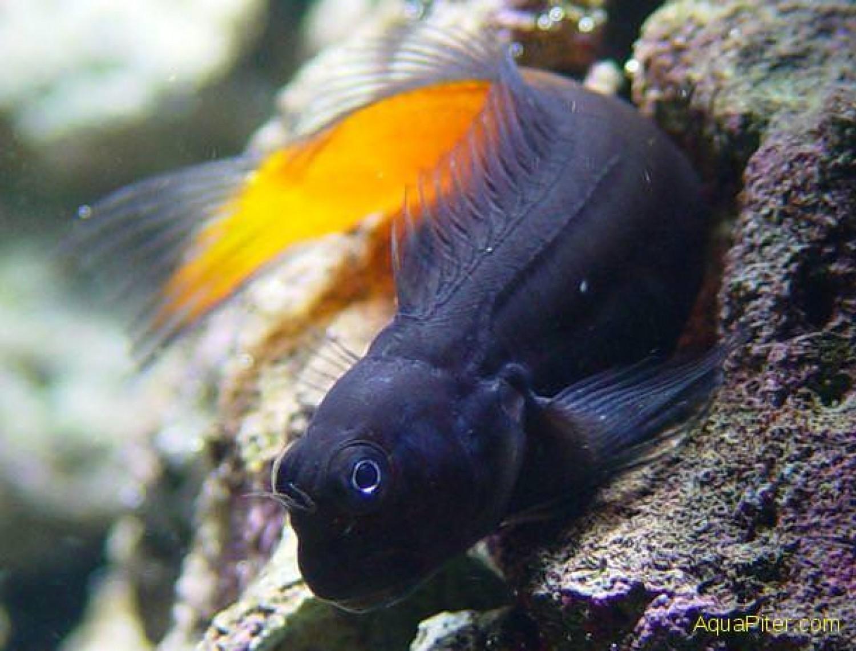 Ecsenius bicolor/ Собачка-эксен двухцветная