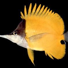 Бабочка - жёлтый пинцет / Forcipiger flavissimus